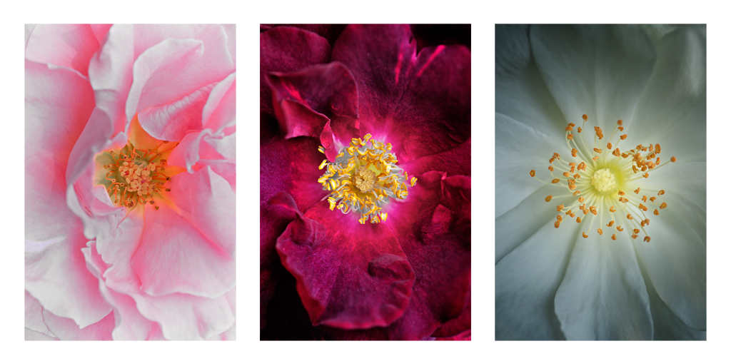 Rose Triptych by Brad Oliphant