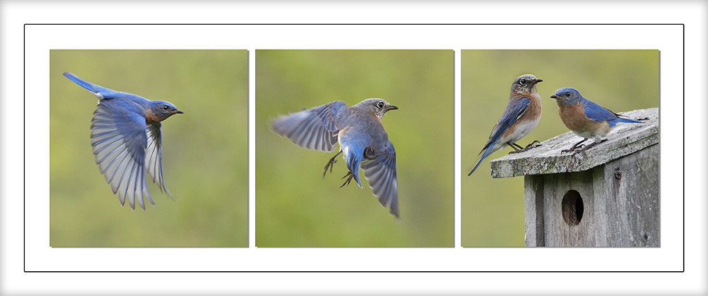 Eastern Bluebird by Michael Amodeo